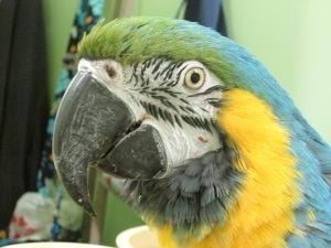 Macaw Face Close-Up